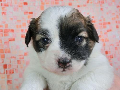 パピヨンの子犬(ID:1244711430)の1枚目の写真/更新日:2017-04-17