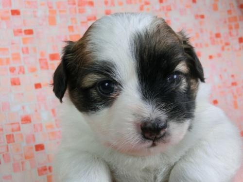パピヨンの子犬(ID:1244711430)の2枚目の写真/更新日:2017-04-17