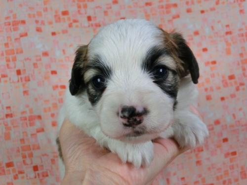 パピヨンの子犬(ID:1244711431)の1枚目の写真/更新日:2017-04-17