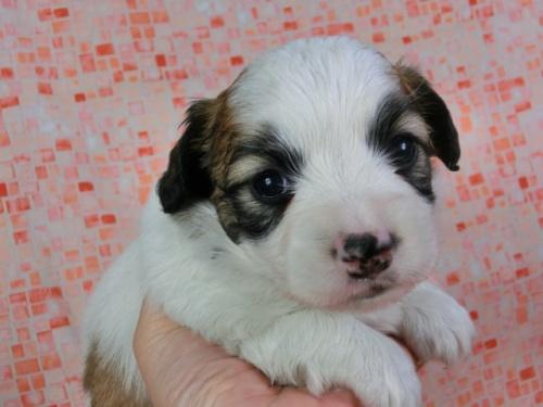パピヨンの子犬(ID:1244711431)の2枚目の写真/更新日:2017-04-17