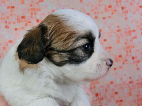 パピヨンの子犬(ID:1244711431)の3枚目の写真/更新日:2017-04-17