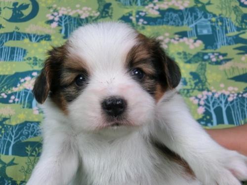 パピヨンの子犬(ID:1244711432)の1枚目の写真/更新日:2017-04-24
