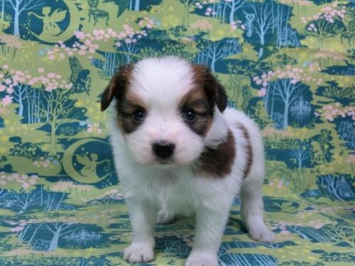 パピヨンの子犬(ID:1244711432)の2枚目の写真/更新日:2017-04-24