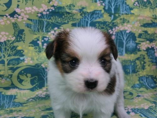 パピヨンの子犬(ID:1244711432)の3枚目の写真/更新日:2017-04-24