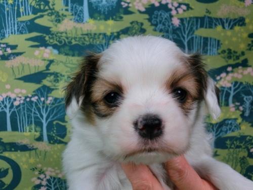 パピヨンの子犬(ID:1244711433)の1枚目の写真/更新日:2017-04-24