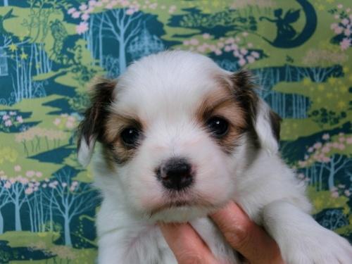 パピヨンの子犬(ID:1244711433)の3枚目の写真/更新日:2017-04-24
