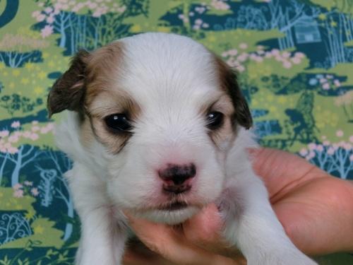 パピヨンの子犬(ID:1244711434)の3枚目の写真/更新日:2017-04-24