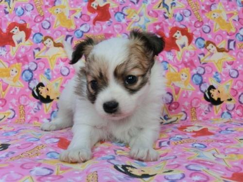 パピヨンの子犬(ID:1244711435)の1枚目の写真/更新日:2017-05-06