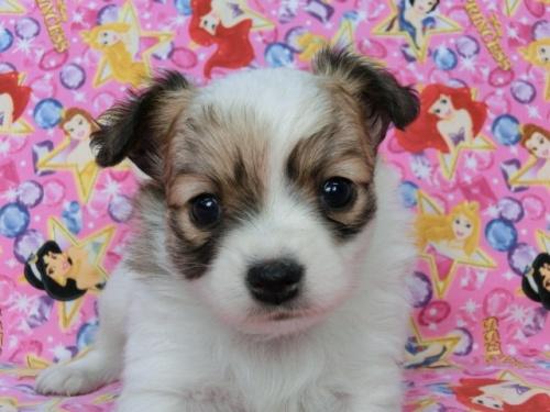 パピヨンの子犬(ID:1244711435)の2枚目の写真/更新日:2017-05-06
