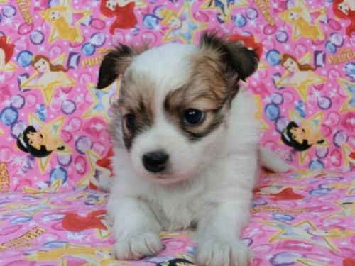 パピヨンの子犬(ID:1244711435)の3枚目の写真/更新日:2017-05-06