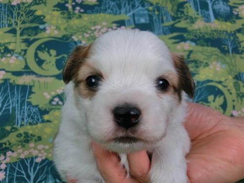 パピヨンの子犬(ID:1244711436)の1枚目の写真/更新日:2017-04-24