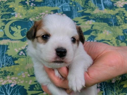 パピヨンの子犬(ID:1244711436)の3枚目の写真/更新日:2017-04-24