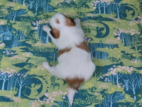 パピヨンの子犬(ID:1244711436)の4枚目の写真/更新日:2017-04-24