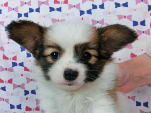 パピヨンの子犬(ID:1244711437)の3枚目の写真/更新日:2017-04-24