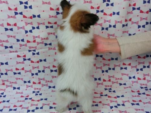 パピヨンの子犬(ID:1244711437)の4枚目の写真/更新日:2017-04-24
