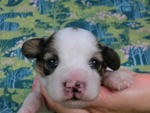 パピヨンの子犬(ID:1244711438)の1枚目の写真/更新日:2017-04-24