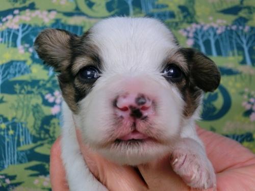 パピヨンの子犬(ID:1244711438)の2枚目の写真/更新日:2017-04-24