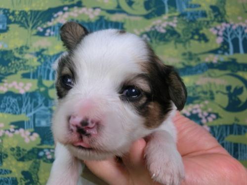 パピヨンの子犬(ID:1244711438)の3枚目の写真/更新日:2017-04-24