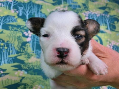 パピヨンの子犬(ID:1244711439)の1枚目の写真/更新日:2017-04-24