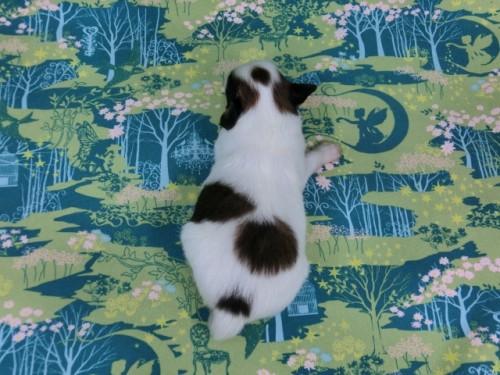パピヨンの子犬(ID:1244711439)の3枚目の写真/更新日:2017-04-24