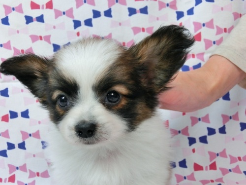 パピヨンの子犬(ID:1244711440)の1枚目の写真/更新日:2017-05-19