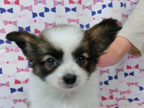 パピヨンの子犬(ID:1244711440)の2枚目の写真/更新日:2017-05-19