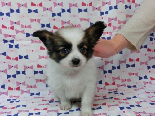 パピヨンの子犬(ID:1244711440)の3枚目の写真/更新日:2017-05-19
