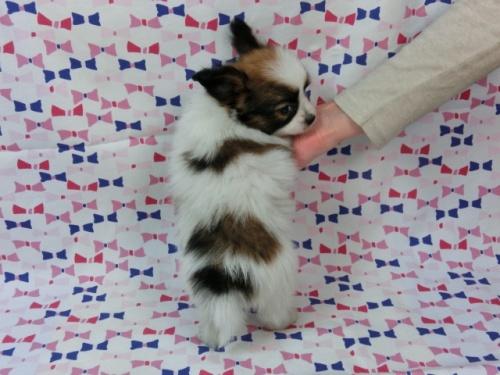 パピヨンの子犬(ID:1244711440)の4枚目の写真/更新日:2017-05-19