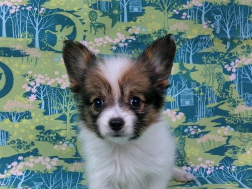 パピヨンの子犬(ID:1244711441)の1枚目の写真/更新日:2017-04-28