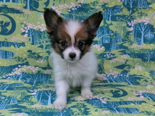 パピヨンの子犬(ID:1244711441)の2枚目の写真/更新日:2017-04-28