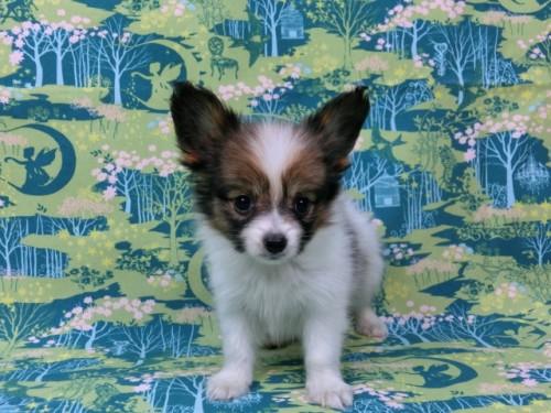 パピヨンの子犬(ID:1244711441)の3枚目の写真/更新日:2017-04-28