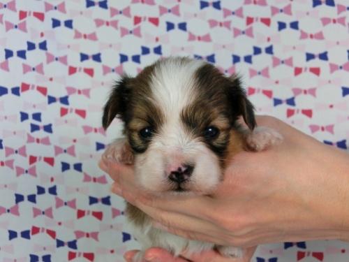 パピヨンの子犬(ID:1244711442)の1枚目の写真/更新日:2017-04-28