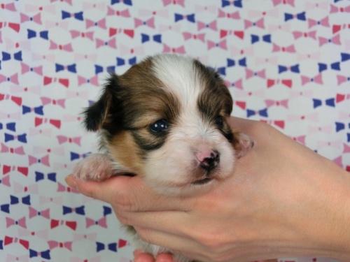 パピヨンの子犬(ID:1244711442)の3枚目の写真/更新日:2017-04-28