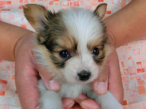 パピヨンの子犬(ID:1244711443)の1枚目の写真/更新日:2017-05-11