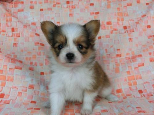 パピヨンの子犬(ID:1244711443)の2枚目の写真/更新日:2017-05-11