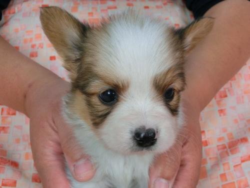 パピヨンの子犬(ID:1244711444)の1枚目の写真/更新日:2017-05-11