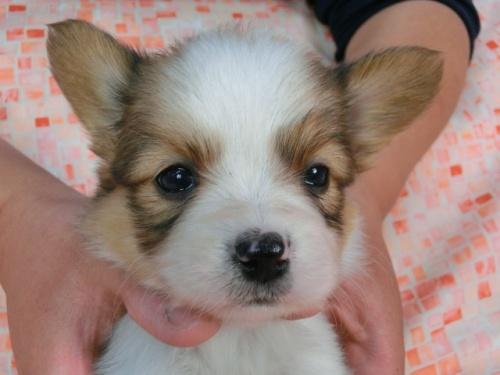 パピヨンの子犬(ID:1244711444)の2枚目の写真/更新日:2017-05-11