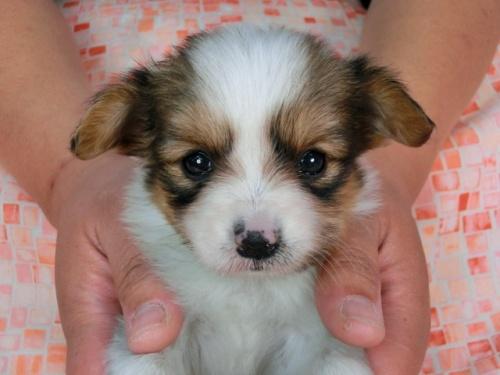 パピヨンの子犬(ID:1244711445)の2枚目の写真/更新日:2017-05-11