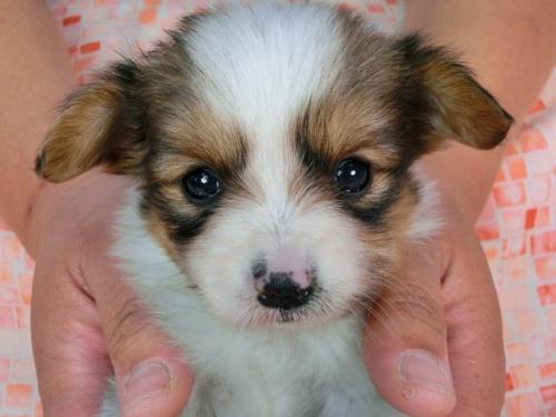 パピヨンの子犬(ID:1244711445)の3枚目の写真/更新日:2017-05-11