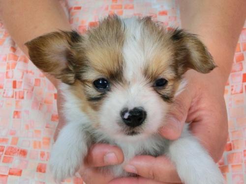 パピヨンの子犬(ID:1244711446)の1枚目の写真/更新日:2017-05-11
