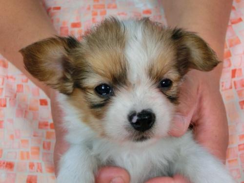 パピヨンの子犬(ID:1244711446)の2枚目の写真/更新日:2017-05-11