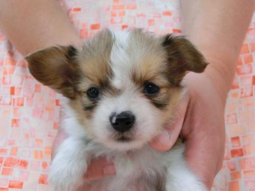 パピヨンの子犬(ID:1244711446)の3枚目の写真/更新日:2017-05-11