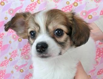 パピヨンの子犬(ID:1244711447)の1枚目の写真/更新日:2017-04-28