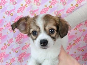パピヨンの子犬(ID:1244711447)の2枚目の写真/更新日:2017-04-28