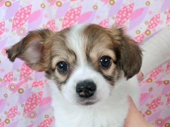 パピヨンの子犬(ID:1244711447)の3枚目の写真/更新日:2017-04-28