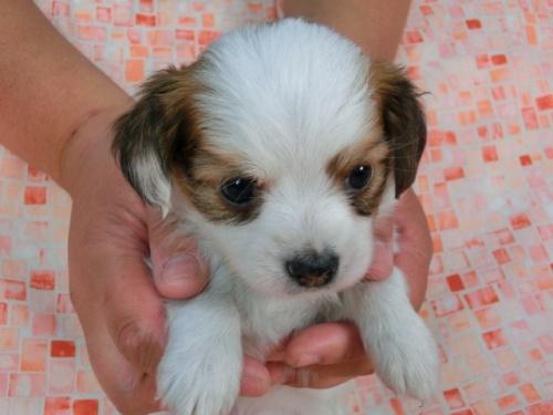 パピヨンの子犬(ID:1244711448)の1枚目の写真/更新日:2017-04-28