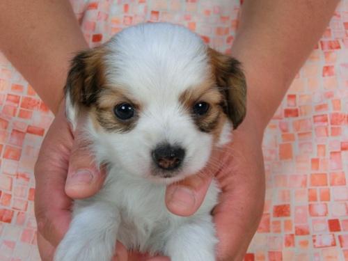 パピヨンの子犬(ID:1244711448)の2枚目の写真/更新日:2017-05-11