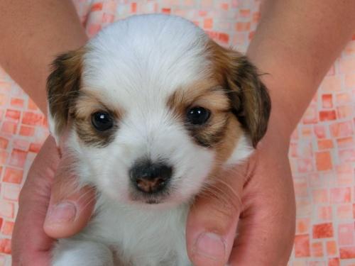 パピヨンの子犬(ID:1244711448)の3枚目の写真/更新日:2017-05-11