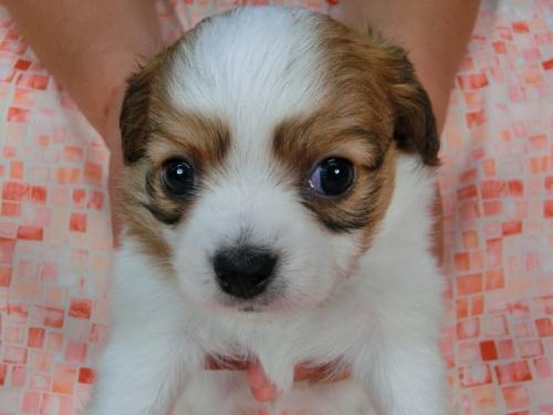 パピヨンの子犬(ID:1244711449)の1枚目の写真/更新日:2017-05-11