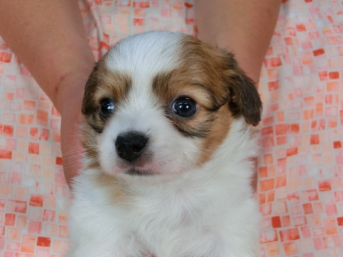 パピヨンの子犬(ID:1244711449)の2枚目の写真/更新日:2017-04-28